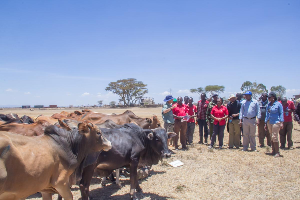 Laikipia County stands out as one of the top producers of the best beef and mutton in the country.